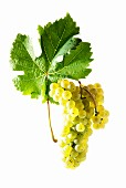Johanniter grapes with a vine leaf