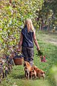 Laufende Frau mit frisch geernteten Trauben und drei Hunden