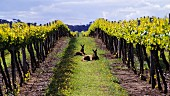 Kangaroos in vineyard at Padthaway, South Australia.