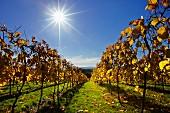 Autumnal vineyard of Bolney Estate. Bookers Farm, Bolney, Sussex, England.
