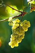 Chardonnay Traube im Sonnenlicht
