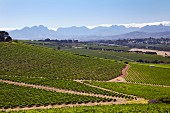 Bloemendal Estate vineyards with the Simonsberg and Stellenbosch Mountains in distance. Durbanville, Western Cape, South Africa. [Durbanville]