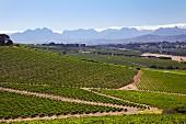 Bloemendal Estate Weinberge mit dem Simonsberg und Stellenbosch Bergen (Durbanville, Western Cape, Südafrika)