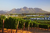 Vineyard and golf course of Kleine Zalze with the Helderberg mountain beyond. Stellenbosch, Western Cape, South Africa.