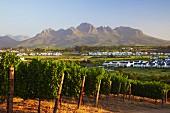 Weingut und Golfplatz von Kleine Zalze vor dem Helderberg (Stellenbosch, Western Cape, Südafrika)
