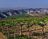 Weinanbaugebiet bei Atri (Abruzzo, Italien)