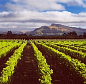Black Bridge vineyard (growers for Bilancia) with Te Mata Peak beyond. Napier, New Zealand. [Hawke s Bay]