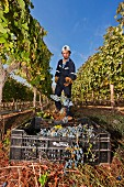 Arbeiter erntet Rotweintrauben der Sorte Carmenere im Weinanbaugebiet Altair (Cachapoal Valley, Chile)