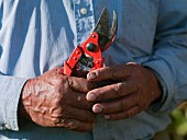 Hands of an 86-year old vineyard worker holding his secateurs. Viña Falernia, Elqui Valley, Chile. [Elqui Valley]