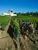 Harrowing with a horse in vineyard below the winery of Château Faugères. St-Etienne-de-Lisse, near Saint-Émilion, Gironde, France. [St-Émilion / Bordeaux]