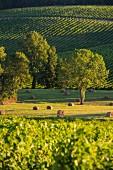 Weinanbaugebiet bei Capian (Gironde, Bordeaux, Frankreich)