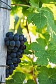 Merlot grapes and leaves. Langoiran, Gironde, France. [Premières Côtes de Bordeaux / Entre-Deux-Mers]
