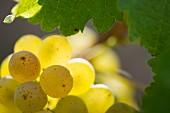 Semillon-Trauben im Weingut Chateau Carbonnieux (Leognan, Bordeaux, Frankreich)