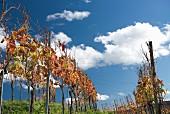 Weinberg nach der Ernte im unteren Aaretal anfang November