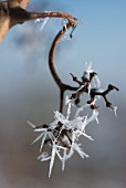 Ice crystals on a vine