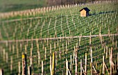 A vineyard shed in a sea of pickets (selective focus), Aargau