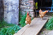 Chickens in Chicken Coop on a Farm