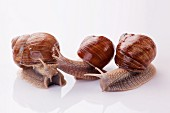 Three Burgundy snails