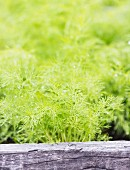 Dill (anethum graveolens) growing in a garden