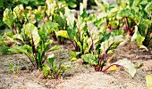 Beetroot plants (Beta vulgaris) growing in a garden