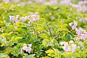 Flowering potato plants growing in a garden