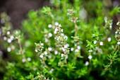 Flowering oregano in a garden (close)