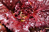 Dew drops on a red lettuce leaf (seen from above)