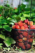 Strawberries in a wire basket in a field