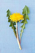 A dandelion with leaves and a flower