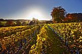 Herbstlicher Weinberg von High Clandon Estate, auf den North Downs in Clandon Downs bei Guildford, Surrey, England
