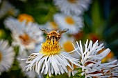 A bee on a white echinacea flower