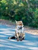 A fox sitting on the road in Maremma Natural Park Albarese