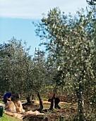 Olivenernte, Arbeiter breiten Netze aus (Maremma-Naturpark Albarese)