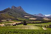 Blick vom Sauvignon Blanc Weinberg von Warwick Estate zum Simonsberg (Stellenbosch, Western Cape, Südafrika)
