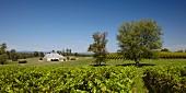 Boxwood Weingut mit Cabernet Sauvignon Weinberg (Middleburg, Virginia, USA)