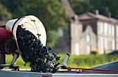 Weinlese im Weinberg von Chateau Lassegue (St-Hippolyte, Gironde, Frankreich)