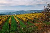 Weinberg der Royal Tokaj Wine Company über dem Dorf Mad in Ungarn