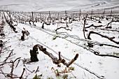 Eisverkrustete Rebstöcke und Drähte im Pinot Noir Weinberg auf der Montagne de Reims über Ay (Marne, Frankreich)