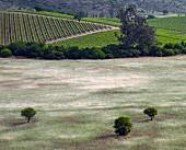 Blick über Grasfelder zu den Syrah Weinbergen von Matetic im San Antonio Valley, Chile