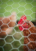 A chicken behind a metal fence