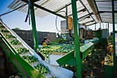 Brussels sprouts being sorted using machines