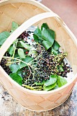Freshly picked elderberries in a wooden basket