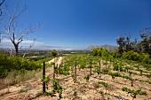 Junger Sauvignon Blanc Weinberg von Klein Constantia mit False Bay (Constantia, Western Cape, Südafrika)