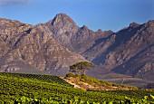 Weinberg von Kleine Zalze vor dem Stellenbosch Berg (Stellenbosch, Western Cape, Südafrika)