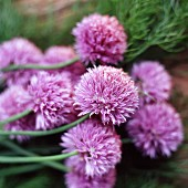 Chive flowers in a a garden (close-up)