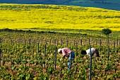 Spring maintenance in vineyard near Elvillar, Alava, Spain. [Rioja Alavesa]