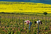 Frühling im Weinberg bei Elvillar, Alava, Spanien