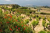 Mohnblumen im Frühling in den Weinbergen bei Laguardia, Alava, Spanien
