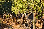 Alte Cabernet Sauvignon Rebstöcke, 1932 gepflanzt im Weinberg von Cousino Macul, Santiago, Maipo Valley, Chile