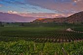 Chardonnay Weinberg von Haras de Pirque, Pirque, Maipo Valley, Chile
